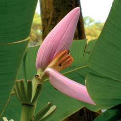 banana flower or jantung pisang