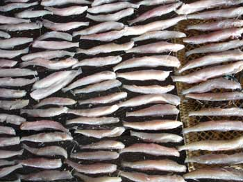 Fish filets being dried
