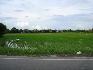 Rice field in the different stages of its growth.