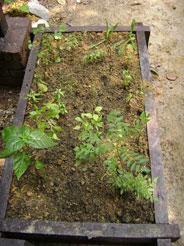 malay herbs: Chilies