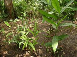 halia malay herbs