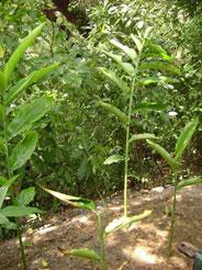 malay herbs