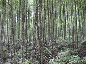 Mangrove forest, Matang