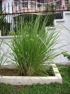 Lemongrass shrub
